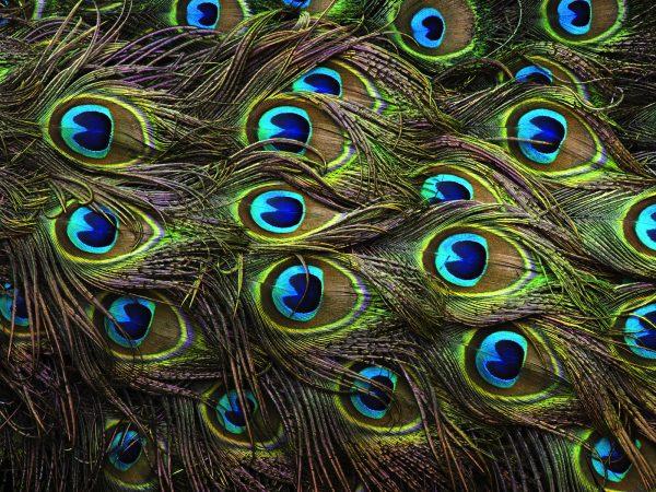 peacockfeathers rosemendoza flickrcc