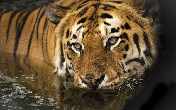 tigr 1