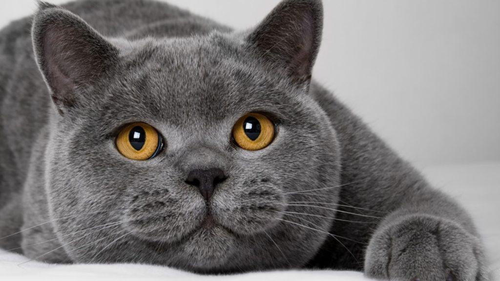 Картинки по запросу Порода кошек, подходящая вам по знаку Зодиака